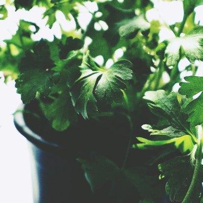 """PREZZEMOLO 🌿 . Conosciuto in botanica come """"Petroselinum Hortense"""", il prezzemolo, deve la sua origine etimologica al nome greco: """"petroselion sativum"""" (da petra – """"pietra""""- e selinon – """"sedano"""") ovvero sedano che cresce sulle pietre – poiché pare che la pianta crescesse spontanea tra le rupi della Macedonia – e sativum """"adatto ad essere coltivato"""". Il prezzemolo è noto fin dall'antichità non tanto per la sua importanza gastronomica, quanto per .... Continua la lettura sul nostro sito e scopri i prodotti dedicati (link in bio). . Con la primavera sbocciano🌱 tante novità firmate: """"Il giardino delle Nasute"""" Scoprite la nostra linea dedicata all'homegarden. . #lenasute #seseinasutavivimeglio #garden #gardendesign #gardening #gardenlife #giardino #giardinaggiochepassione #giardinaggio #primavera #benvenutaprimavera #spring #verde3 #officedecor #ilovespring #ilovespringtime #welcomespring #lenasute #linaofficinegrafichecreative #orto #ortoterapia #vegetables #vegetablegarden #vegetablegardening #vegetables #erbearomatiche #fiori #prezzemolo"""